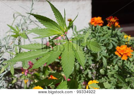 cannabis plant in flower bed