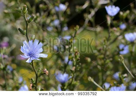 Delicate Blue Chicory Flowers