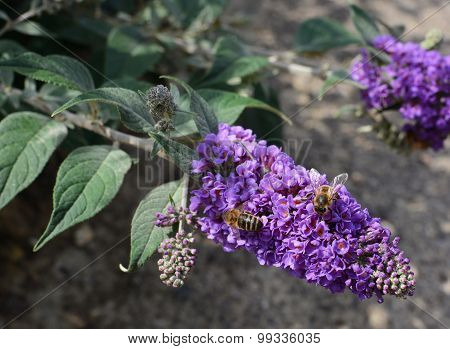 Two Honeybees Collecting Nectar From Purple Buddleia Flowers