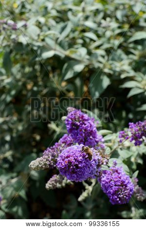 Honeybee On Purple Buddleia