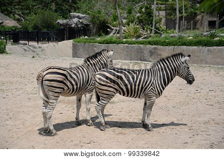 Twin Zebras In Thailand Zoo