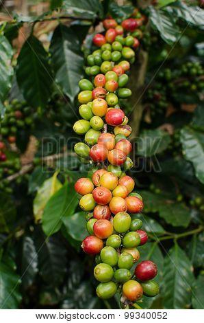 fresh coffee berries