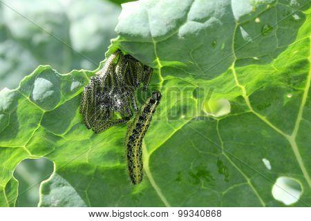 Cabbage White Caterpillars Underleaf