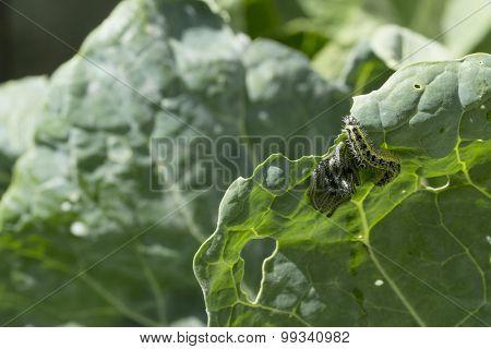 Cabbage White Caterpillars Feeding