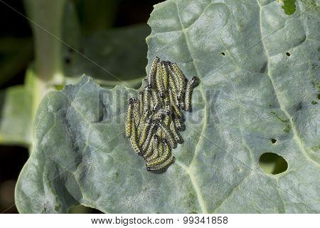 Small Cabbage White Caterpillars Feeding