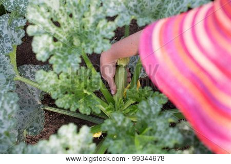Gardener Picking Small Zucchini From A Plant In A Garden