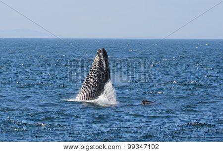 Humpback Whale  ADCI