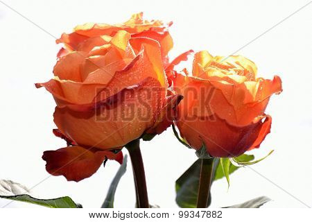 Orange Roses Light Background