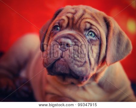 Dogue de Bordeaux - French Mastiff