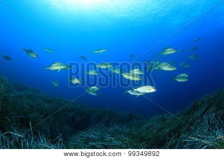 Underwater fish school Amberjacks