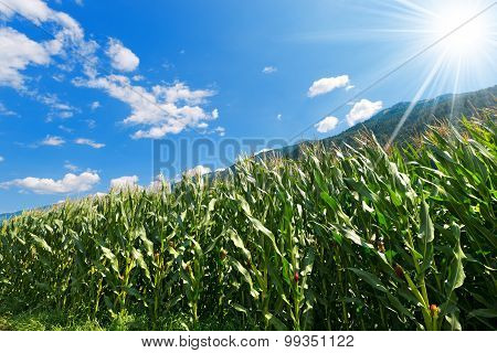 Green Corn Field In Mountain - Trentino Italy