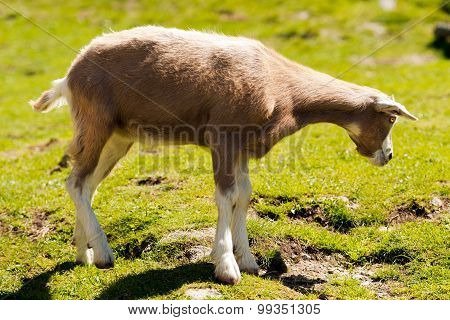 Mountain Baby Goat On Green Grass