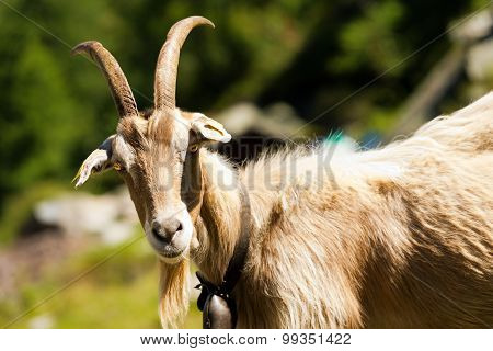 Mountain Goat With Horns - Italy