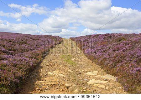 Bridleway Through Flowering Heather