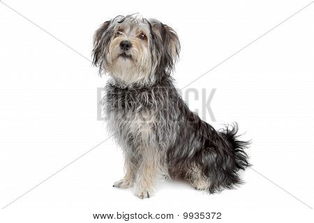 Mixed Breed Maltese Dog/yorkshire Terrier