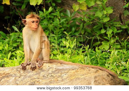 Toque Macaque Sitting On A Rock At Cave Temple In Dambulla, Sri Lanka. Toque Macaques Live Only In S