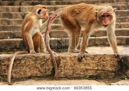 Toque Macaques Sitting At Cave Temple In Dambulla, Sri Lanka