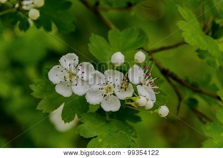 Hawthorn (Crataegus monogyna) blossom