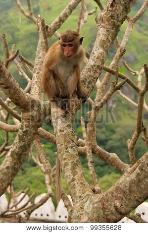 Toque Macaque Sitting On A Tree At Cave Temple In Dambulla, Sri Lanka. Toque Macaques Live Only In S