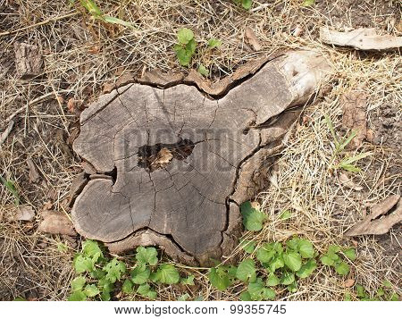 Top View Of An Old Stump Of Cut Tree Cracked And Rotten Core