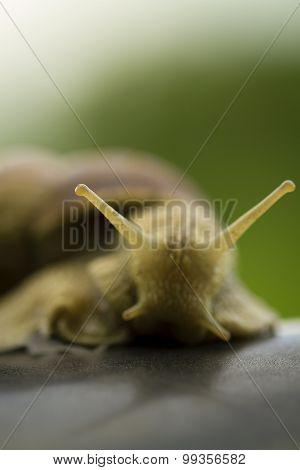 Small Snai