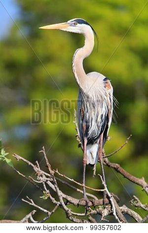 Great Blue Heron Standing On A Tree Branch. It Is The Largest North American Heron.