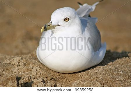 Ring Billed seagull resting on a sandy beach