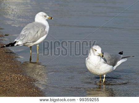 Pair of Seagulls standing in calm waters along shore line of lake