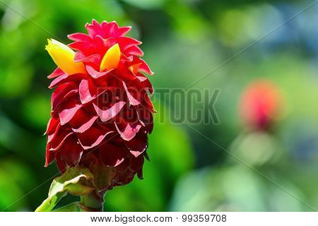 Red Indonesian Wax Ginger flower
