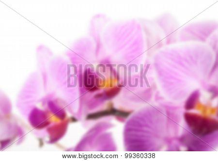 orchid flower, Phalaenopsis