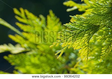 Green Thuja In The Park