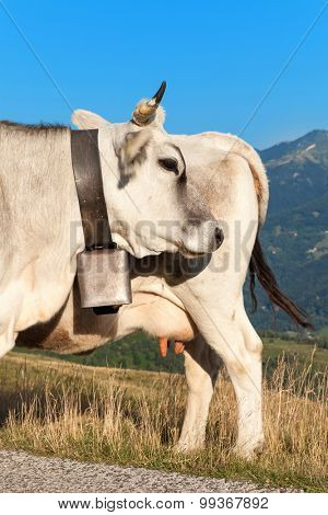 Portrait of two dairy cows, outdoors