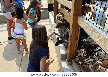 Girl Feeds Goat