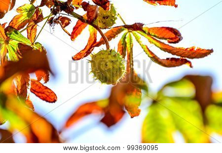 Green Chestnut Growing On The Tree In Front Of White Sky