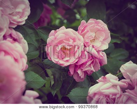 Pink flowers on the rose bush in garden, summer time