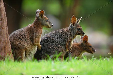 D Kangaroo