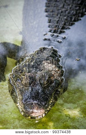 Crocodile On Water