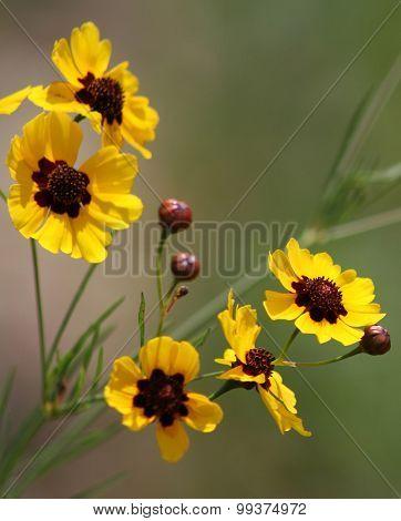 Coreopsis Tinctoria Tickseed Wildflowers