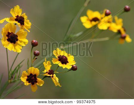 Alabama Wildflowers Coreopsis Tinctoria Tickseed