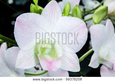 Dendrobium Champagne White