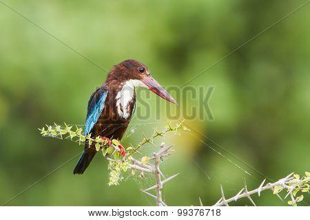 White-throated Kingfisher In Pottuvil, Sri Lanka