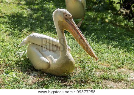Pelican Sits