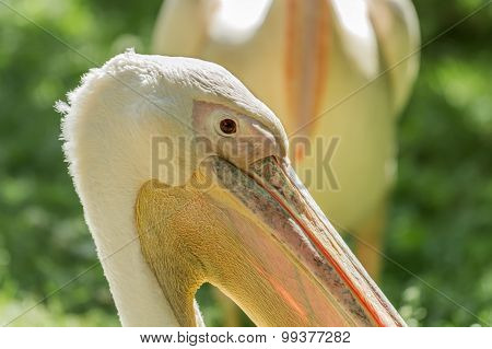 Pelican Beak Close