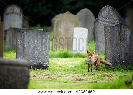 Red fox in a Graveyard