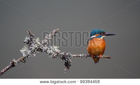 Kingfisher on grey