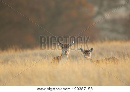 two little deers