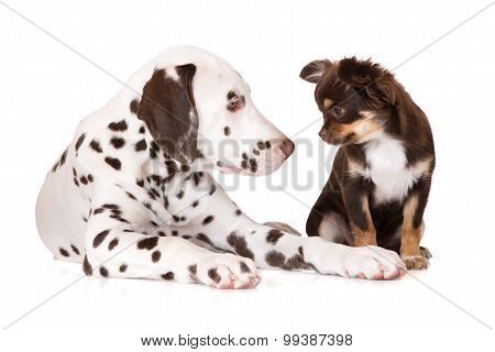 adorable dalmatian puppy with a chihuahua