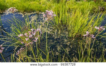 Pink Flowering And Overblown Grass Rush