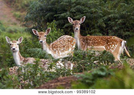 Three fallow deer