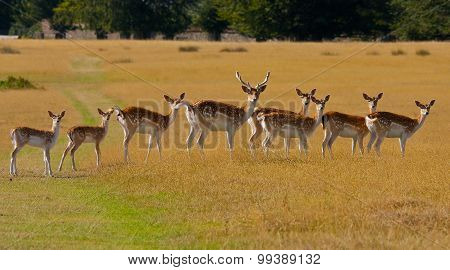 Fallow deer in a line